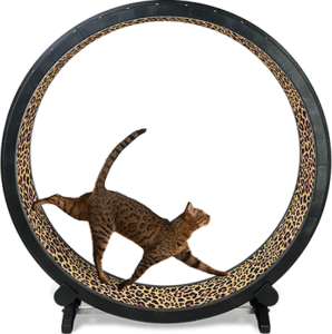 L'entraînement des chats permet de donner aux nouvelles cordes en boyau une résistance hors du commun.